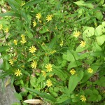 何かな?黄色い花です。