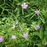 薄紫色の可愛い花です